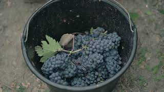 Taittinger - Harvest Time 2019 - Champagne Academy www.champagneacademy.co.uk