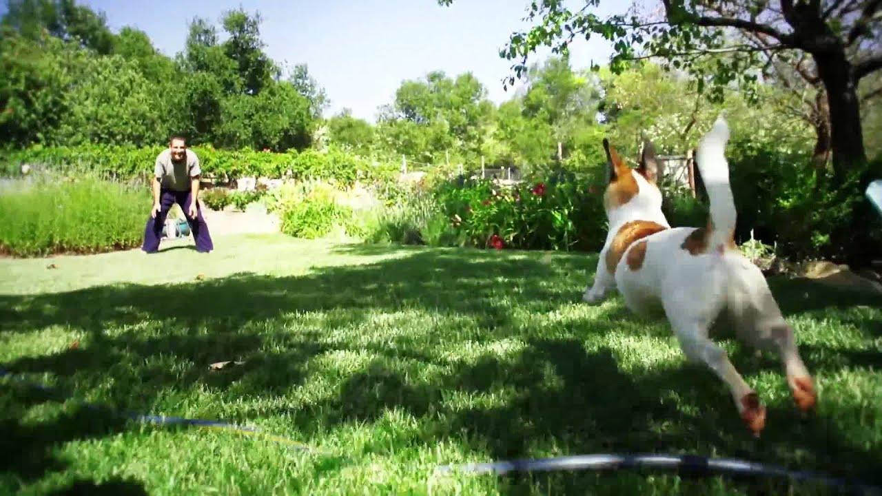 Jack Russell Terrier Running Slow-Motion - YouTube Jack Russell Terrier Wallpaper