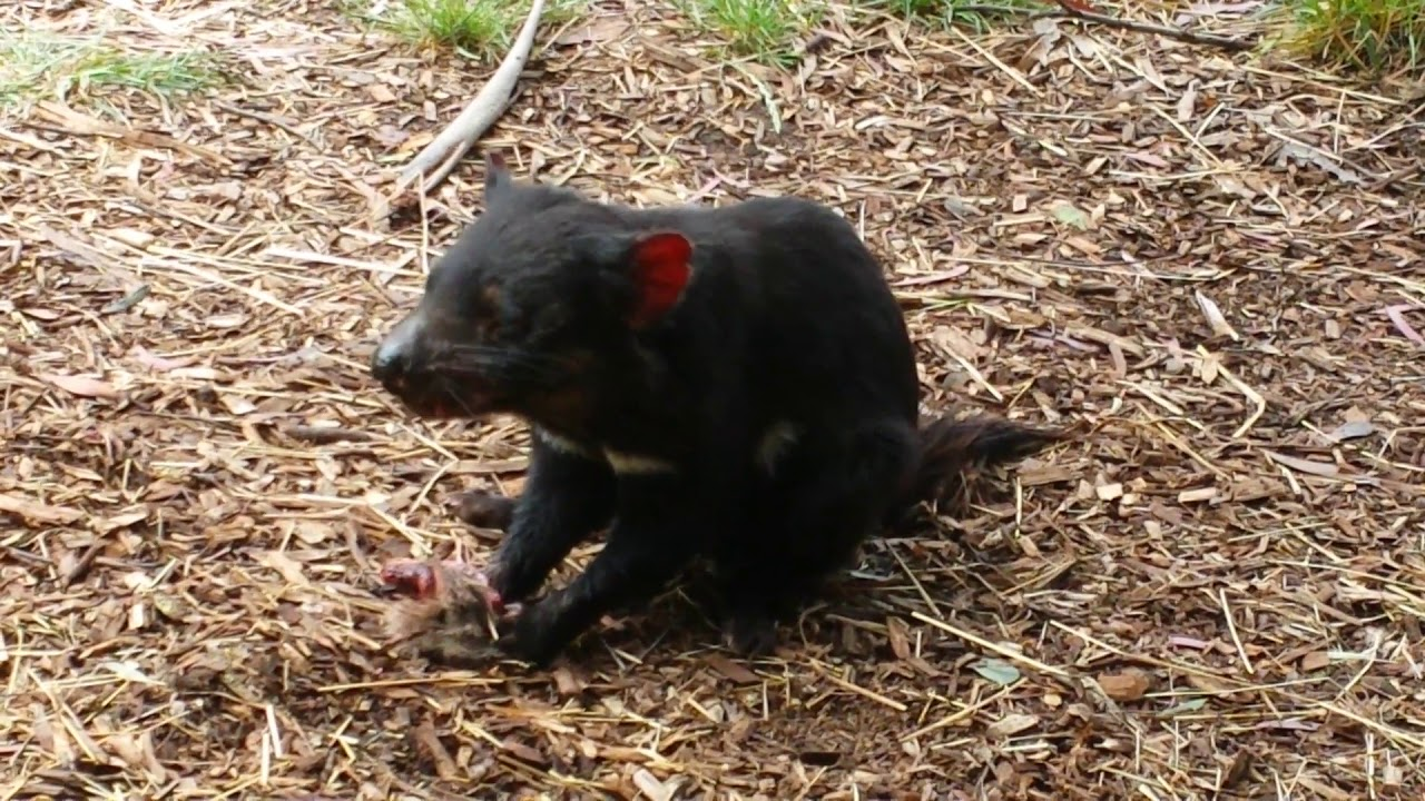 тасманийский дьявол. фото