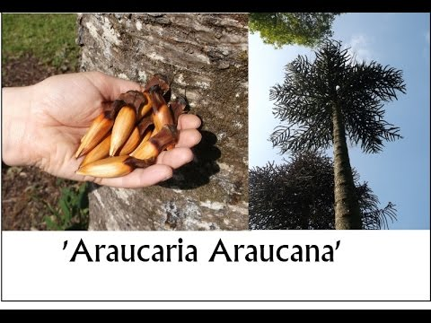 How to grow the Monkey Puzzle Tree from seed - Araucaria araucana