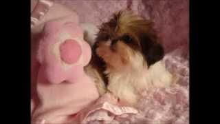 Itsy Bitsy Tiny Teacup Shih Tzu Pebbles