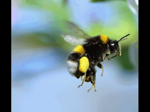 "Flat Earth - Bumble Bee - Natural Law - Truth - Hidden in ""Plain"" sight"