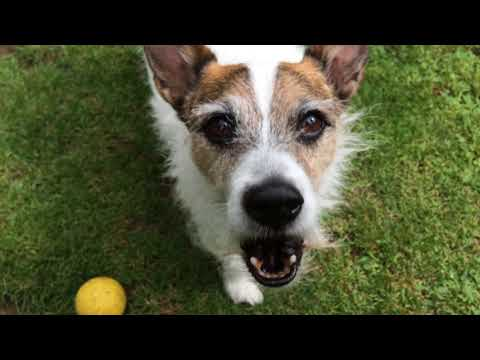 Jack Russell Barking Close Up .