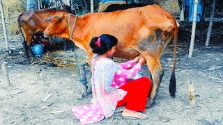 Village cow milking by beautiful girl | Village style milking | Amazing cow milking video