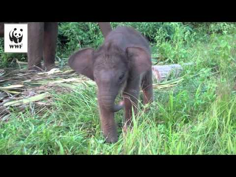 Baby elephant learns to use her trunk