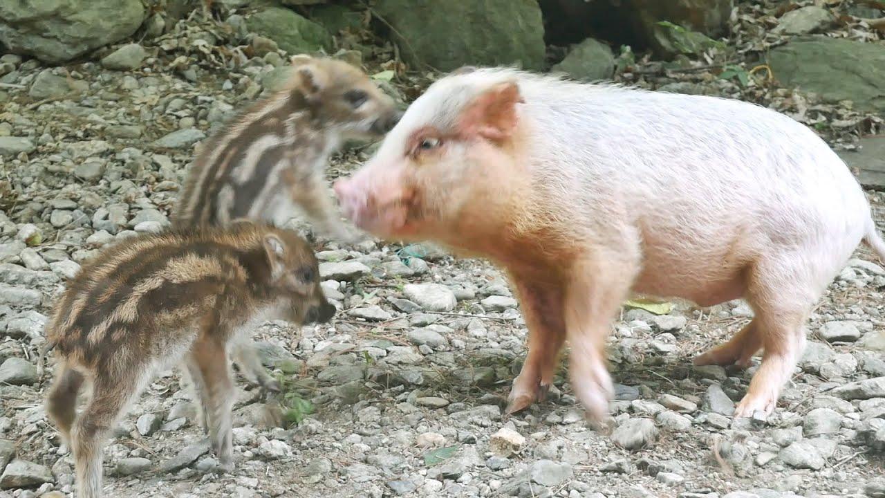 멧돼지를 만난 미니피그와 강아지