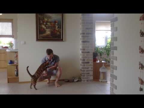 Bengal cat trick – The Pedestal / The Hand stand trick