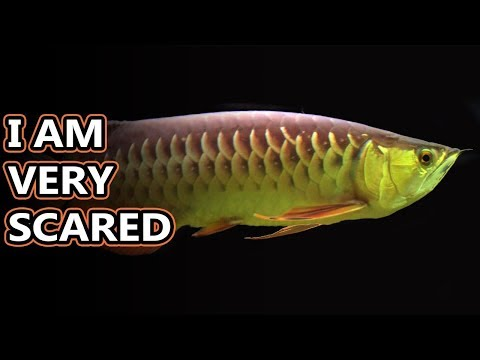 Arowana Facts: The Dragon Fish With Silver Scales | Animal Fact Files