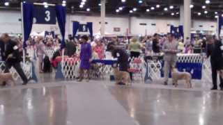 Australian Cattle Dogs- Conformation, Houston Reliant Show 2013
