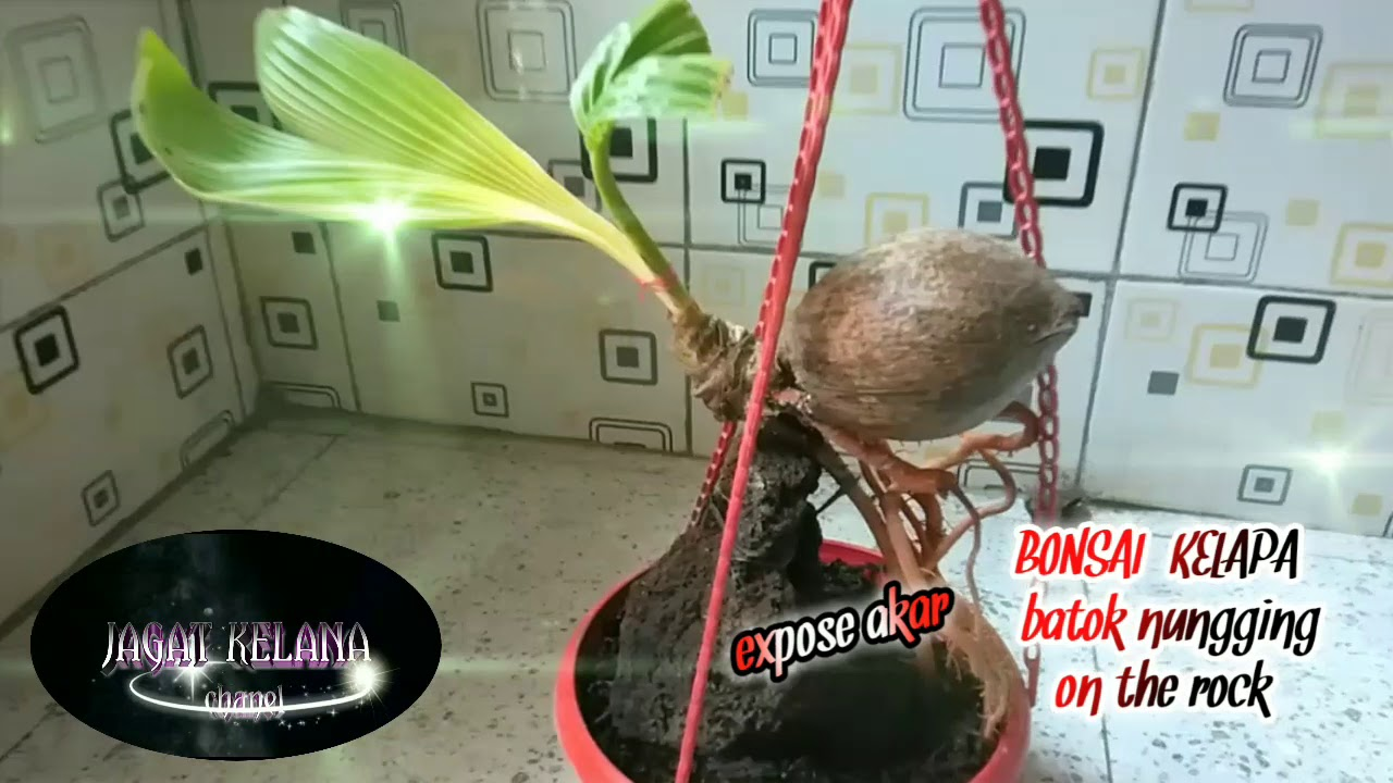 Bonsai Kelapa Batok Nungging On The Rock Expose Akar Youtube