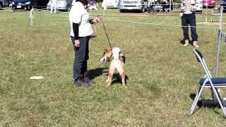 平成25年日本犬保存会・三多摩展秋季展覧会の参考犬 吉秀号です。