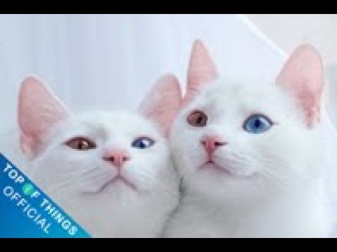 Top 10 most beautiful cats in the world #1 | Top of Things