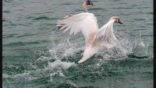 Лебедь Белая (Ю. Михальчик)