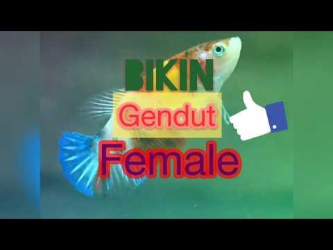 CARA MATENGIN / GENDUTIN TELUR SI FEMALE CUPANG