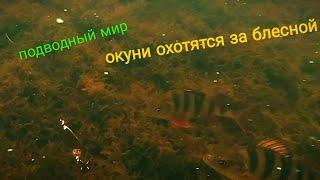 Подводный мир окуни охотятся за блесной