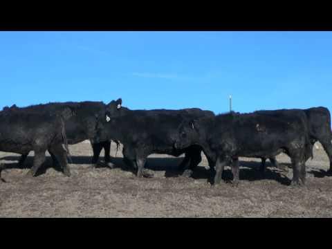 Brian Mahoney Bred Heifers