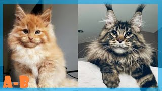Maine Coon Cat Compilation 2020