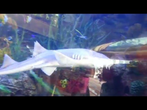 Sharks in Burj Al Arab Aquarium.  31.01.2014.