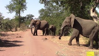 Scary - Driving Through A Large Breeding Elephant Herd