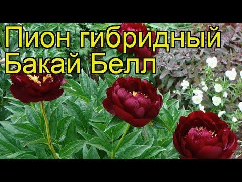 Пион гибридный Бакай Белл. Краткий обзор, описание характеристик paeonia hybrida Buckeye Belle