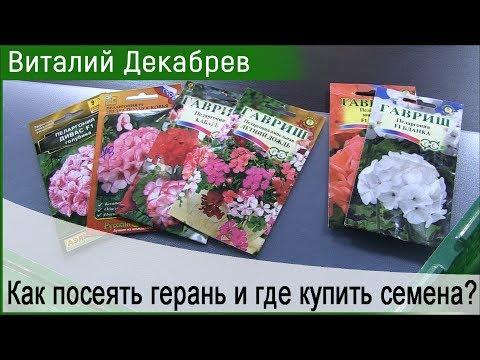 Как посеять герань и где купить семена?