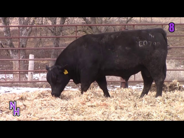 New Haven Angus Lot 8