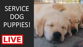 LIVE STREAM PUPPY CAM with SPECIAL GUESTS! Gorgeous Labrador  Golden Retriever Service Dog Puppies!