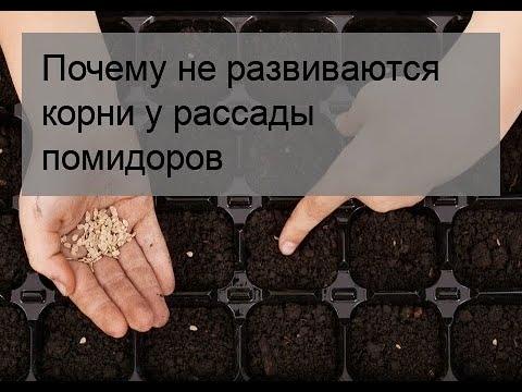 Почему не развиваются корни у рассады помидоров