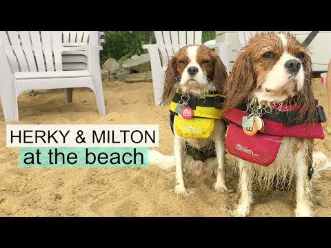 DOGS AT THE BEACH | Herky & Milton Cavalier King Charles Water Dogs