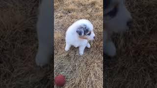 ドッグランで遊ぶ子犬達 全国優良ブリーダーの子犬紹介サイト『みんなの...