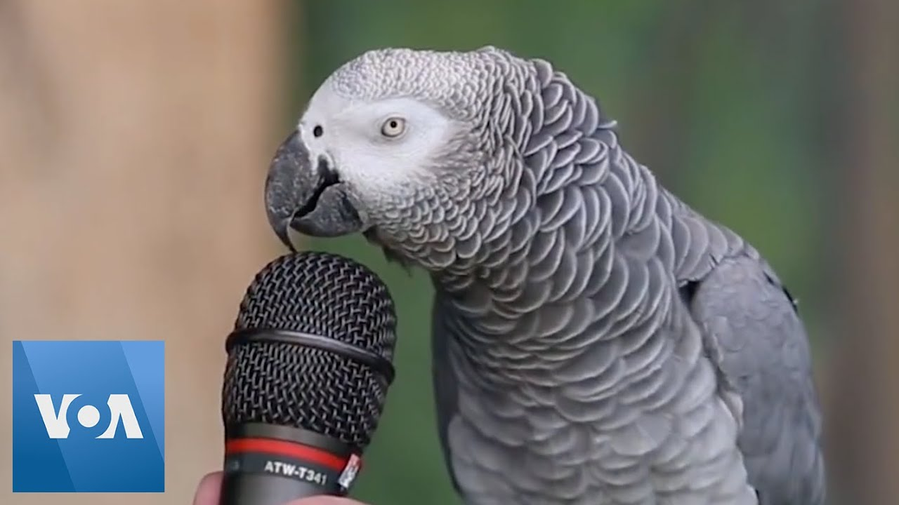 African Grey Bird Talking