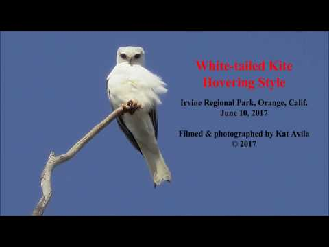 White-tailed Kite Hovering Style (California)
