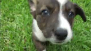 Cute Puppy Ebo Jumping Through The Grass (cardigan Welsh Corgi; 8 Weeks Old, 1st Day In New Home)