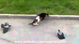 Epic Cat Fight (cat's horror) Crows vs Cat vs Cat Street Fight