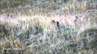 Chat sauvage dans les Pyrénées Orientales