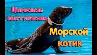 Морской котик. Цирковые выступления...