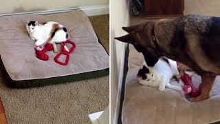 German Shepherd takes action after finding cat sleep in her bed