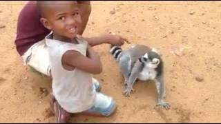 Un lemur puturos vrea sa fie scarpinat tot timpul :))