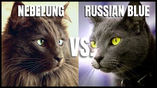 Nebelung Cat VS. Russian Blue Cat