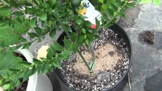Citrus Tree update