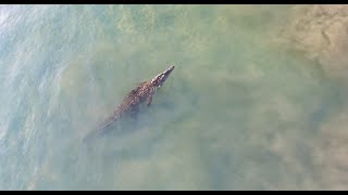 Crocodiles Swims Along Beachfront **Drone footage**