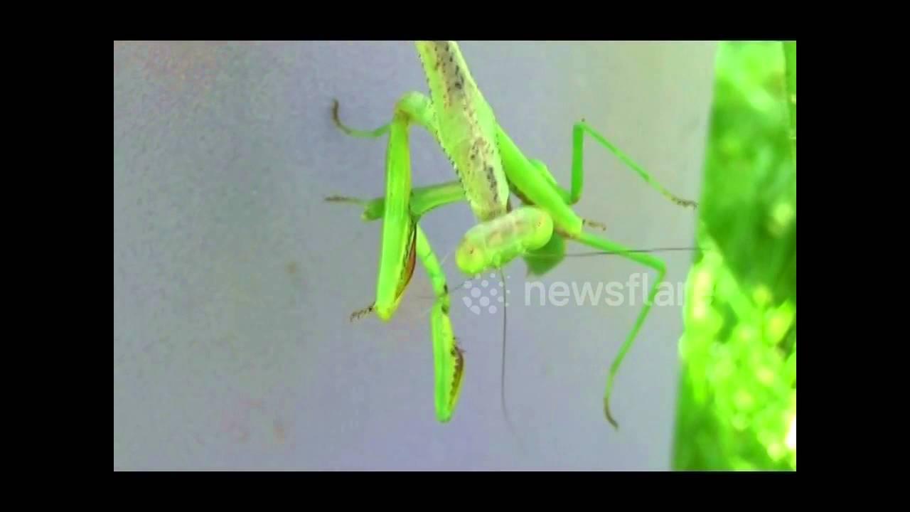 Female Praying Mantis Bites Head Off Mate Youtube