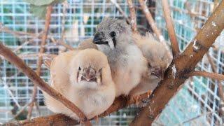 Зебровые амадины кормят птенцов