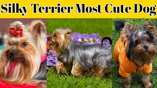 Silky Terrier Most Cute Dog in Dog Breed #short #shorts