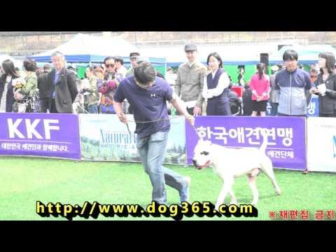 2016.04.11 KKF Dog Show - Dogo argentino