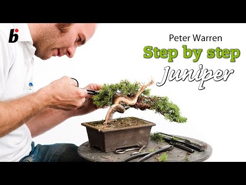 Juniper semi cascade by Peter Warren (UK) Bonsai Focus #6/2012