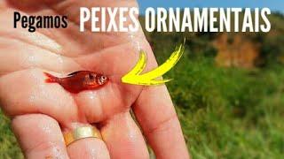Vejam os PEIXES ORNAMENTAIS que pegamos - mato grosso - aquarismo - aquario natural parte16