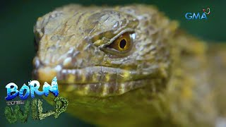 Born to be Wild: The little 'dragons' of the wild