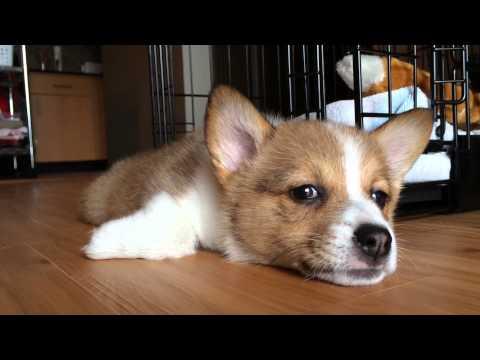 Corgi Puppy Cuteness: Kuma's First Week Home