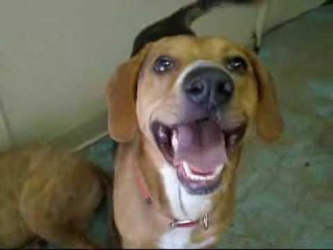 Jake - Beagle/Shepherd mix - YouTube